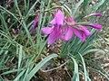 Gladiolus sp.002 - Monfrague.jpg