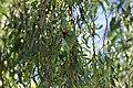 Glossopsitta concinna (31762787064).jpg