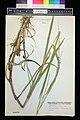 Glyceria notata herbarium (02).JPG