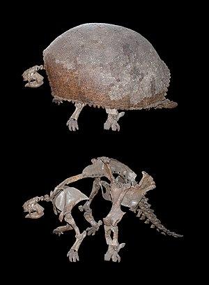 Cingulata - Glyptodon clavipes (Museum für Naturkunde, Berlin)