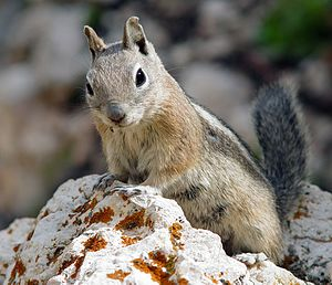 Golden-mantled ground squirrel - Image: Goldmantelziesel
