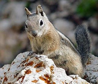 Golden-mantled ground squirrel species of mammal