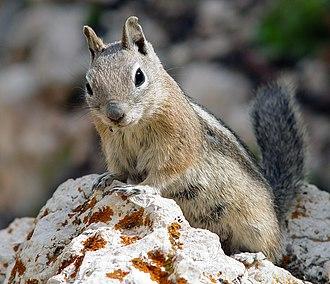Golden-mantled ground squirrel - Image: Goldmantelziesel