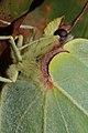 Gonepteryx rhamni (36872105035).jpg