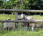 Good Easter, Essex, England - sheep on road to ford over River Can west of Good Easter village 02.JPG