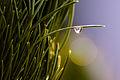 Goutte sur une branche de pin 2.jpg