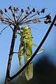 Grünes Heupferd ♀ Tettigonia viridissima 1.JPG