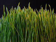 Germinating grass seedlings