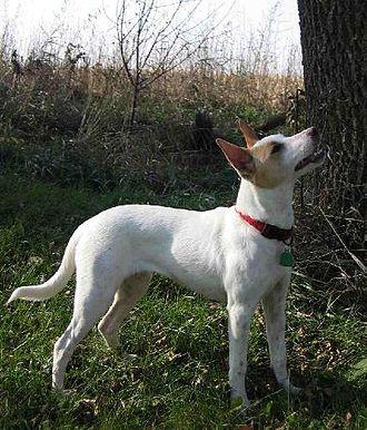 Feist (dog) - Gray's Prairie Daisy – An example of a Gray bred Mountain Feist.