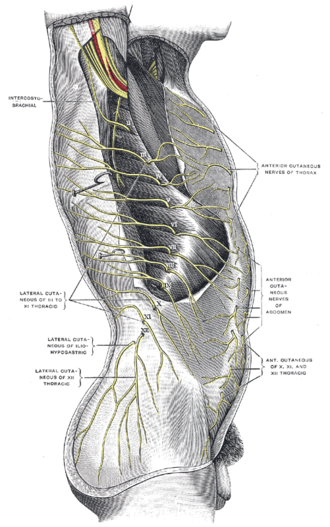 Subcostal nerve - Cutaneous distribution of thoracic nerves.
