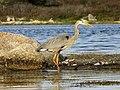 Great Blue Heron - Nova Scotia.jpg