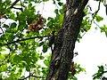 Great Slaty Woodpecker - Mulleripicus pulverulentus - P1100518.jpg