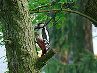Great Spotted Woodpecker-Mindaugas Urbonas.jpg