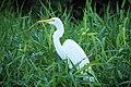 Great egret (8439804754).jpg