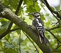 Great spotted woodpecker (48835866857).jpg