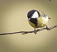 Great tit (32852013854).jpg
