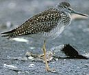 GreaterYellowlegs23.jpg