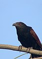 Greater Coucal (Bhaaradwaaj).jpg