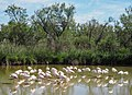 Greater Flamingos (19155498558).jpg