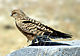 Greater Kestrel Namibia.jpg