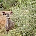 Greater Kudu (Tragelaphus strepsiceros) female ... (50112158741).jpg