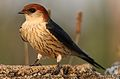 Greater Striped Swallow, Hirundo cucullata (syn. Cecropis cucullata), at Marievale Nature Reserve, Gauteng, South Africa (30389790402).jpg