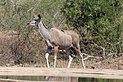 Greater kudu in Kruger National Park 01.jpg