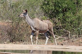 Greater kudu in Kruger National Park 01.jpg