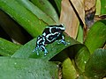 Green Poison Frog (Dendrobates auratus) (6978548464).jpg