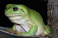 Green Tree Frog (Litoria caerulea) (8692503598).jpg