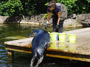 Grey seal - Captive grey seal being fed, showing snout shape