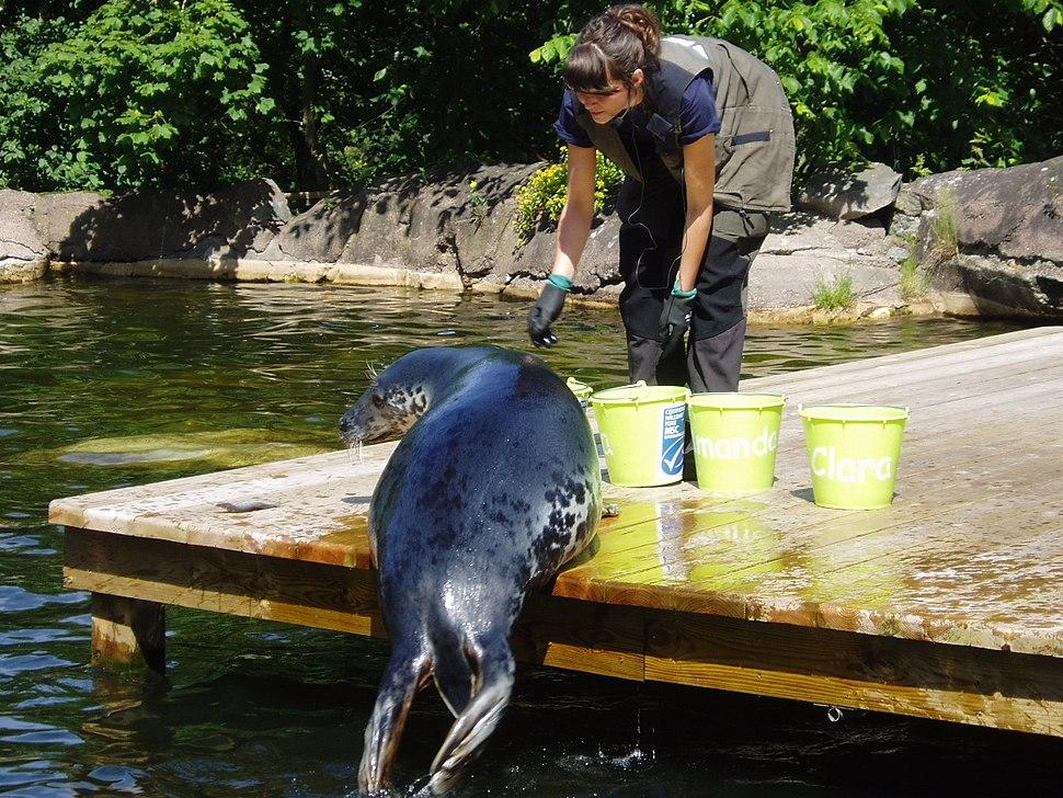 Grey seal feeding Skansen