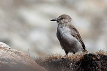 Ground Tit north Sikkim India 16.10.2019.jpg