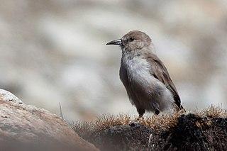 Ground tit Species of bird