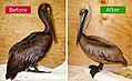 Gulf-Oiled-Pelican-Before-After-Cleaning.jpg