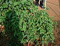 Gymnema sylvestre W IMG 3124.jpg