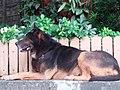 HK Tai Hang 銅鑼灣道 Tung Lo Wan Road 大坑福德古廟 Fuk Tak Temple dog July 2019 SSG 03.jpg