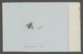 Haematopota - Print - Iconographia Zoologica - Special Collections University of Amsterdam - UBAINV0274 038 06 0022.tif