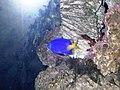 Hal - Chrysiptera parasema - 3.jpg