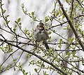 Harris's Sparrow, Muskegon SGA Headquarters, April 10 2012 (7064533695).jpg