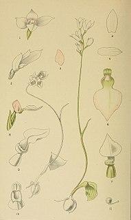 <i>Dracomonticola</i> Genus of plants