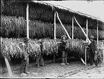Harvesting tobacco (2447230615).jpg