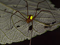 Harvestman from Ecuador (14766468373).jpg