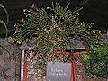 Hatiora salicornioides20140104 067.jpg