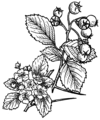 Hawthorn Plant (PSF).png