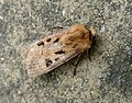 Heart and Dart. Agrotis exclamationis - Flickr - gailhampshire (4).jpg
