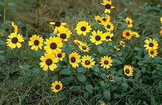<i>Helianthus petiolaris</i> Species of sunflower
