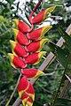 Heliconia rostrata 21zz.jpg