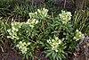 Helleborus argutifolius at RHS Garden Hyde Hall, Essex, England 01.jpg
