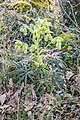 Helleborus foetidus in Causse de Limogne (4).jpg